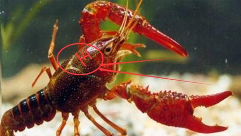 自小龙虾之后,又一淡水虾王来到我国,小龙虾有接班人了!