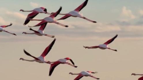"""""""鸟中贵妇""""火烈鸟,除了进食姿态端庄,逃跑时也是相当优雅"""