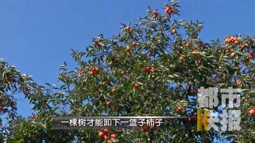 熟了!《长安十二时辰》带火的火晶柿子上市了