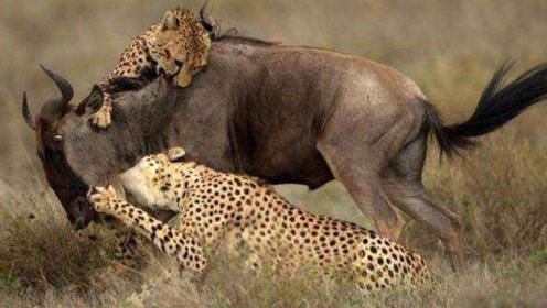 牛羚一脚踢残鬣狗,却遭到两只猎豹背后偷袭,被活活掏肛而死