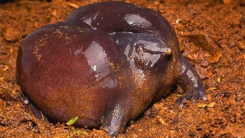 最古老的青蛙,存活了1.34亿年,还长着一副猪鼻子!