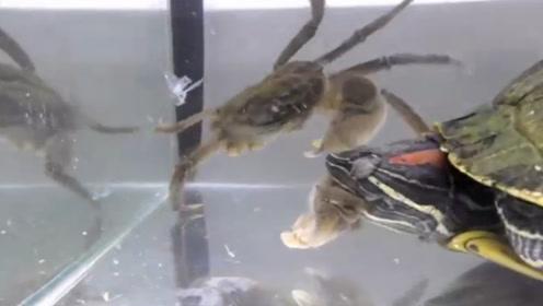 螃蟹挑衅巴西龟,结果被一招秒杀,转眼就缺胳膊短腿,太惨了