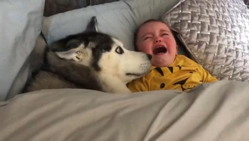 二哈趁主人不注意,偷偷钻进宝宝的被窝,下一秒忍不住笑出声!