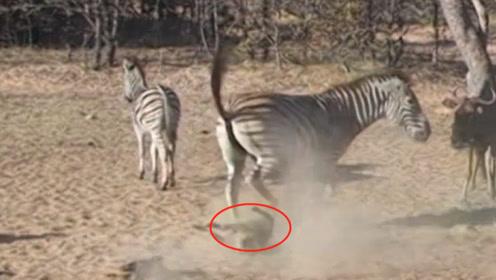 疣猪跑到斑马前面抢吃的,被一脚踢翻在地,下一秒站起来直接报复