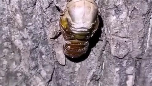 第一次看见蝉脱壳,太牛了!