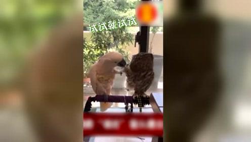 鹦鹉疯狂搭讪高冷猫头鹰 像不像哄生气女友的你?