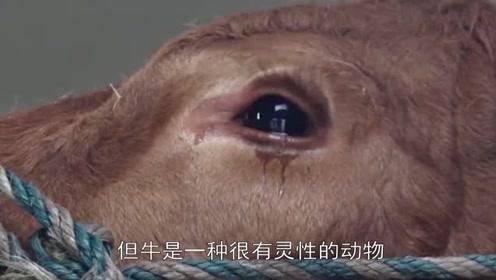 为什么宰牛时,要用布蒙住牛的眼睛,屠夫说出原因!