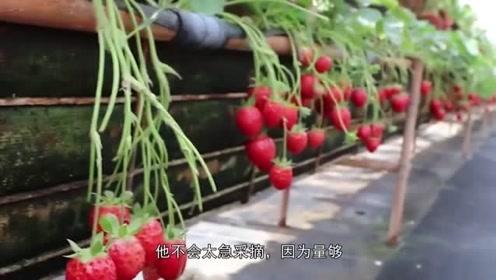 草莓爱好者小编教大家如何选草莓