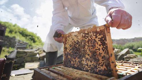 地球上最重要的生物是蜜蜂,而不是人类