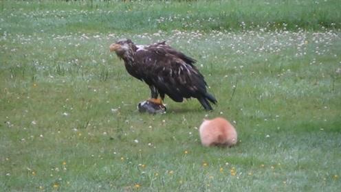 野猫咪看到一只大鸟,一直趴在地上等待时机,发现是老鹰后秒怂