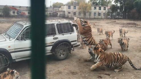 一群老虎追着汽车,男子扔出一只鸡,瞬间鸡毛满天飞