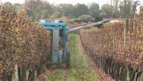 葡萄成熟到采摘全过程,原来都是靠机器操作,人工都摘不完