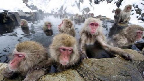 猴子成精了!这个只有猴子能够泡的温泉,游客站在一旁只能拍照