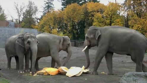 大象享用饭后甜品,一脚把大南瓜踩得稀巴烂,嚼起来声音清脆