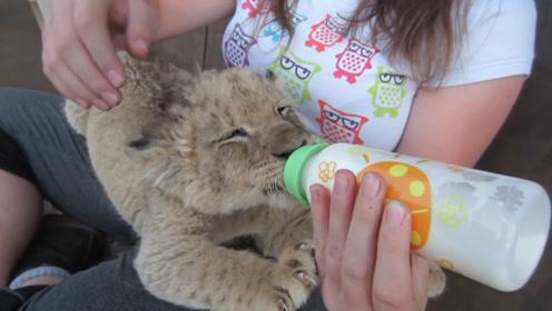 小姐姐给小狮子宝宝喂奶,恨不得把奶嘴嘬断,小表情萌翻众人