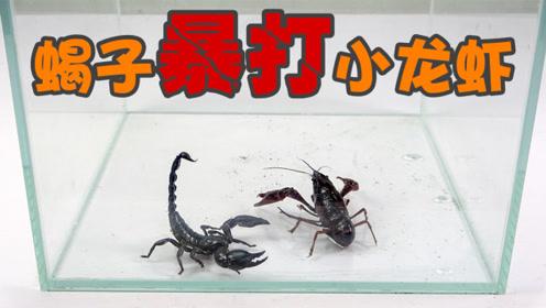 """实验:""""钳子""""间的对决!蝎子跟小龙虾谁更胜一筹呢?"""