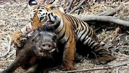 两百斤老虎大战五百斤野猪,谁能更胜一筹?镜头拍下全过程