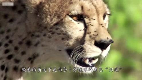 关于猎豹的6个特点,你了解多少?最后一个虐暴东北虎