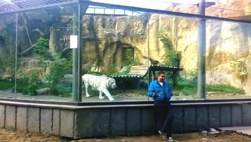 一名游客背向着老虎,老虎瞬间发起攻击,镜头拍下惊险一幕!