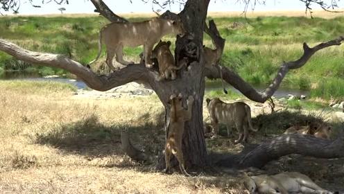 树大好乘凉,小狮子们的成长记!学会了爬树,在树干上休息