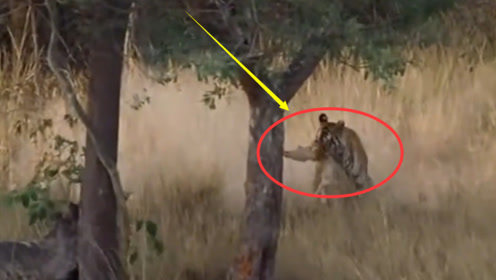 孟加拉虎捕猎斑鹿全过程,斑鹿瞬间被秒杀,毫无还手之力