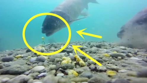 钓鱼:玉米粒钓大草鱼,水下看鱼是如何咬钩的