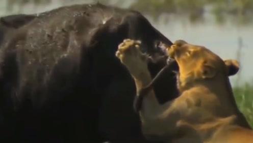 狮子水中捕食失败,就算是陆地上的强者,也不敢轻易招惹它