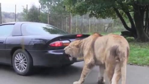 狮子一口咬住汽车尾部,司机一脚油门踩下去,不料意外发生了!