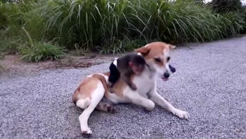 狗狗多了个小跟班,不过它并不介意