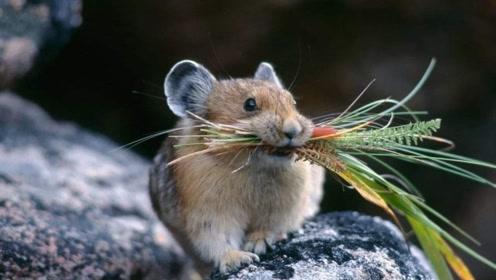 这什么兔子?专吃名贵药材已濒临灭绝,网友:比大熊猫还金贵