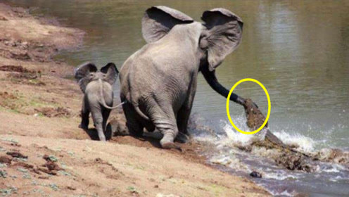 鳄鱼死死咬住小象鼻子不放,象妈妈一脚下去,专治各种不服