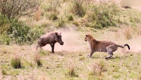 贪吃疣猪远离族群,惨遭花豹无情猎杀,连反应都来不及