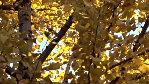 晚秋的银杏树