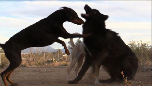 谁说狗怕狼,杜宾犬单挑5头狼,狼群认怂不敢应战,真正的狗