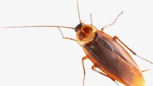 蟑螂真的打不死吗?科学家对其进行实验,失去脑袋还能活