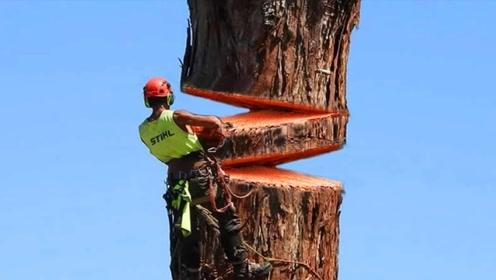 近距离实拍工人用电锯砍伐百米大树,恕我直言,这是拿命赚钱