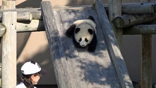 日本和中国的动物园,对待熊猫的方式还真不一样,差距未免太大了