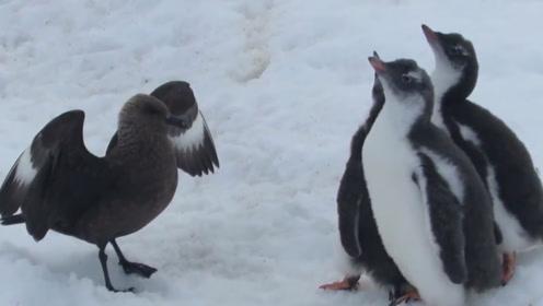 经常抢占其它鸟类巢穴的贼鸥,不仅偷蛋还想攻击小金图企鹅