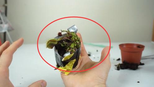 小伙把自己手指喂捕蝇草吃一天,看到实验结果,网友:活着不好吗?