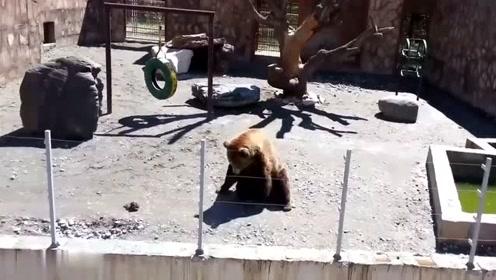 惊喜!俄罗斯一动物园棕熊向游客挥手回应