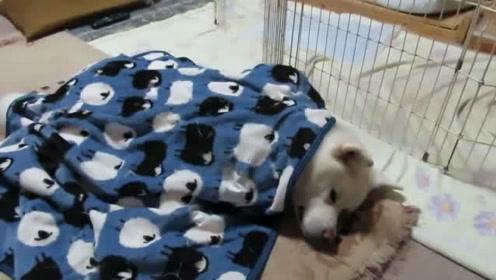白毛秋田犬盖毛毯睡觉中,不想起床是因为冬季来了!单身狗格外寒冷