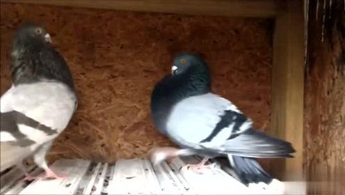 两只鸟儿在配对,走路一扭一扭的样子略显呆萌