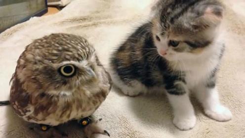 猫咪和猫头鹰放一起,会发生什么?主人:原来我是多余的!