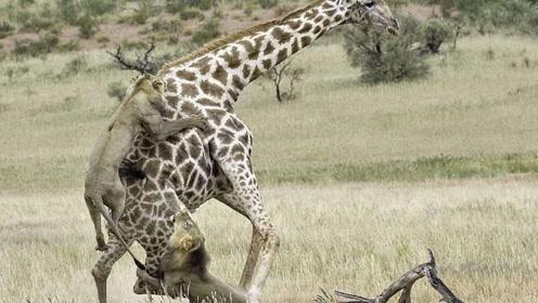 长颈鹿将狮子踢倒在地,又连续踢了好几脚,狮子在折磨中死去