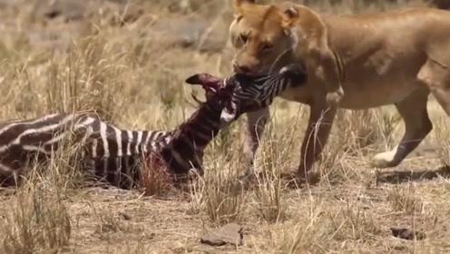 斑马惨遭狮子捕食,同类却无动于衷,网友:上去就是送死