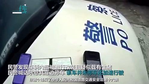 4辆7座商务车在高速被拦停 民警惊讶发现竟拉了79头猪