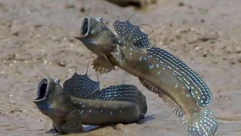 """世界上""""最辛苦""""的鱼:花了3亿年爬上陆地,可惜却遇到广东人!"""