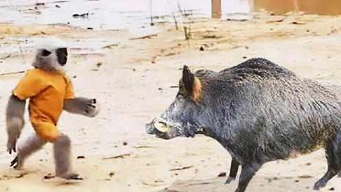 非洲大叔训练猴子捉野猪,画面笑的肚子疼!简直是神操作