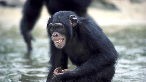 黑猩猩集体捕食你见过吗匍匐前进的黑猩猩群,战略战术令人惊叹
