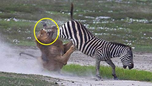 狮子居然被斑马干翻了?百兽之王的面子都没了,太难了
